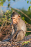 Young monkeys Royalty Free Stock Photo