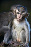 Young Monkeys Royalty Free Stock Image