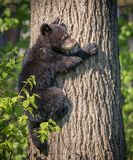 Young 4 month old cub climbs up tree for safety in Minnesota royalty free stock photos