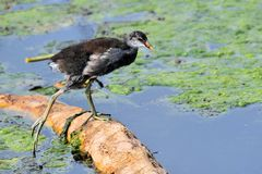 Young Moorhen Stock Photos