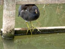 Young moorhen. Moorhen balancing on the fence at rushcliff country park Stock Photo