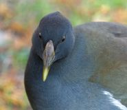 Young moorhen in closeup in autumn royalty free stock photos