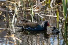 Young moorhen duckling being fed water grass by adult royalty free stock images