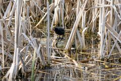 Young moorhen Gallinula chloropus duckling  amongst reeds standing on a floating wooden log stock photography