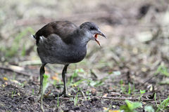 Young moorhen gallinula chloropus at Martin Mere Stock Photo