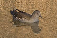 A young moorhen on the Ornamental Pond, on Southampton Common stock photo