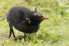 A baby moorhen at Southampton Common royalty free stock images