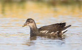 Young Moorhen swimming Royalty Free Stock Image