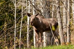 Young moose Royalty Free Stock Images