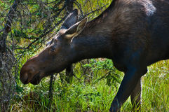 Young moose Royalty Free Stock Photos