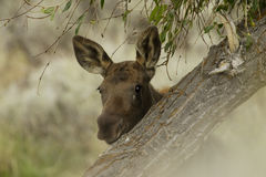 Young Moose. Closeup of young moose peering from behind tree trunk Stock Image