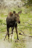 Young Moose. Standing amoung branches with green foliage as background Stock Photography