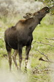 Young Moose. Reaching to browse on leaves with green foliage as background Royalty Free Stock Photos