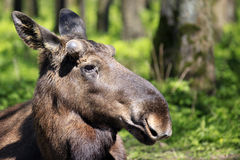 Young moose bull / elk in forrest in the sun Royalty Free Stock Photography