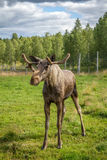 Young moose bull Stock Images