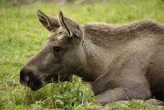 Young moose calf Royalty Free Stock Image