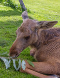 Young moose calf feeding on a branch Royalty Free Stock Photo