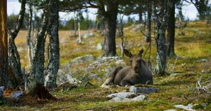 Young moose calf lying on the forest floor resting stock video