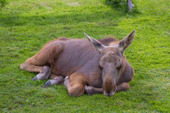 Young moose calf resting in the cut grass Royalty Free Stock Images