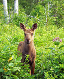 Young moose calf Royalty Free Stock Photo
