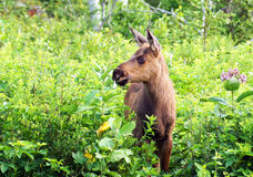 Young moose calf Stock Photography