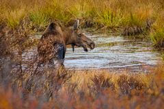 Young moose with driping water from his chin in Alaska. Young moose with driping water from his head in Alaska, kincaid city forest park in Anchorage, denali stock image