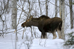 Young Moose feeding twigs in deep snow Royalty Free Stock Photo