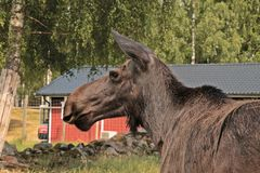 A young moose in a good mood. A moose in an elg park far out in Sweden`s beautiful nature. There is a small private park with moose stock photo