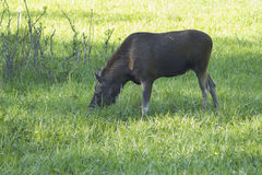 Young moose Royalty Free Stock Photography