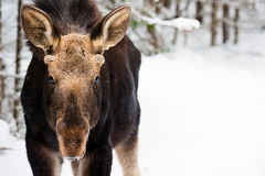 Young moose looking forward Stock Images