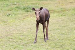 Young Moose. A young moose looks at you curiously Stock Photography