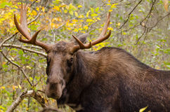 Young moose male Royalty Free Stock Photo