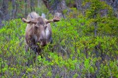 Young Moose Royalty Free Stock Photos