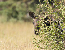 Young moose peeking from behind tree Royalty Free Stock Images