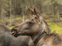 Young moose Stock Images