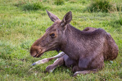 Young moose resting Royalty Free Stock Photography