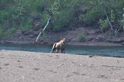 Young moose on the river Bank. Royalty Free Stock Image