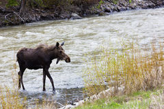 Young Moose in River Outside East Gate of Yellowstone Royalty Free Stock Image