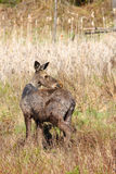 Moose Yearling During Spring Royalty Free Stock Images
