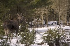 A young moose is standing in the woods and watching, Sweden stock photo