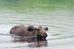 Young moose swimming Royalty Free Stock Image