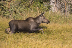 Young moose in the tall grass by the lake Stock Image