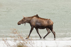 Young moose wading in shallow water of frozen lake Royalty Free Stock Images