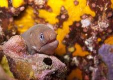 Young moray eel. stock photos