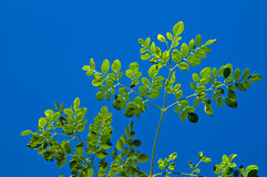 Young moringa tree against blue sky. Looking up at the leaves at the top of a young moringa tree, used for alternative medicine. Backlit from sun royalty free stock photo