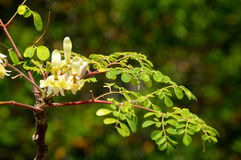 Young moringa tree with leaves and flowers. Flowers are blooming on the branches of a young moringa tree, used to make supplements and herbal medicine stock photos