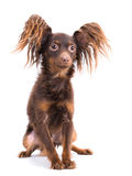 Young  Moscow toy terrier Stock Photography