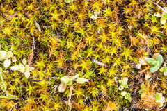 Young Moss in Spring Stock Photography