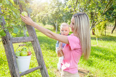 Young mother with baby picking apples from an apple tree Royalty Free Stock Photography