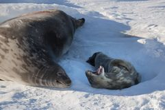 Seal - ringed seal Pusa hispida, A young mother with a born cub lies on the snow. A young mother with a born cub lies on the snow. Sunbathe, heat from the sun stock photography